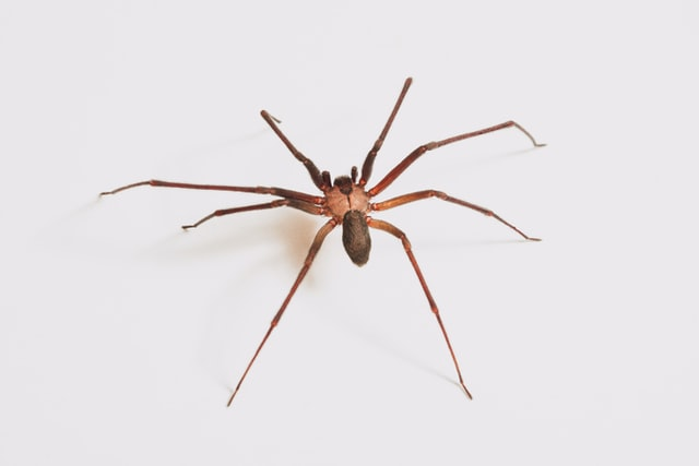 Are Brown Recluse in California?